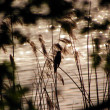 Stock Photo: At lake - Great Reed Warbler (Acrocephalus arundinaceus)