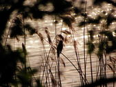 At the lake - Great Reed Warbler (Acrocephalus arundinaceus) — Foto de Stock