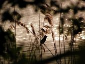 At the lake - Great Reed Warbler — Stock Photo