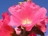 Spring flower - hollyhocks, close up — Stock Photo