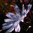 Spring flower - Chicory, close up — Stock Photo #8292121