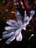 Spring flower - Chicory, close up — Stock Photo