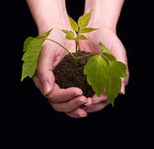 Mãos explorações uma pequena planta verde — Foto Stock