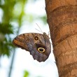 Tawny Owl Butterfly — Stock Photo #9925517