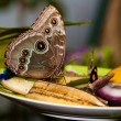 Blue Morpho Butterfly on fruit — Stock Photo #9925550