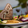 Blue Morpho Butterfly on fruit — Stock Photo #9925560