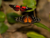 Yellow Tiger Longwing Butterfly and Red Postman Butterfly — Stock Photo