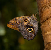 Tawny Owl Butterfly — Stock Photo