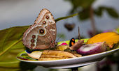 Blue Morpho Butterfly on fruit — Stock Photo