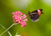 Red Postman Mimic Butterfly — Stock Photo