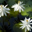 White Waterlily — Stock Photo #10019732