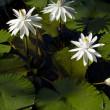 White Waterlily — Stock Photo #10019794