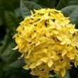 Yellow Ixora Flowers — Stock Photo