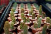 Cactus in a pot — Stock Photo