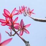 Plumeria flowers with blue sky — Stock Photo