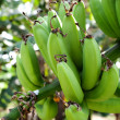 Green bananas — Foto Stock