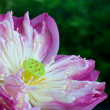 Water Lily with flower — Stock Photo