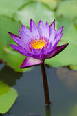 Details of purple water lily — Stock Photo