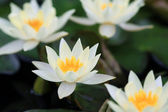 Piękne kwitnących lilii wodnej — Zdjęcie stockowe