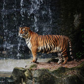 Large striped tiger — Stock Photo
