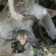 Mother and Son Monkeys - Stock Photo