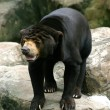 Black Bear - Stock Photo