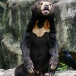 Black Bear in Zoo - Stock Photo