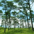 Stock Photo: Pine Forest in the Morning