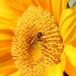 Honey Bee on Sunflower — Stock Photo