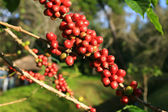 Coffee beans ripening on plant — Stock Photo