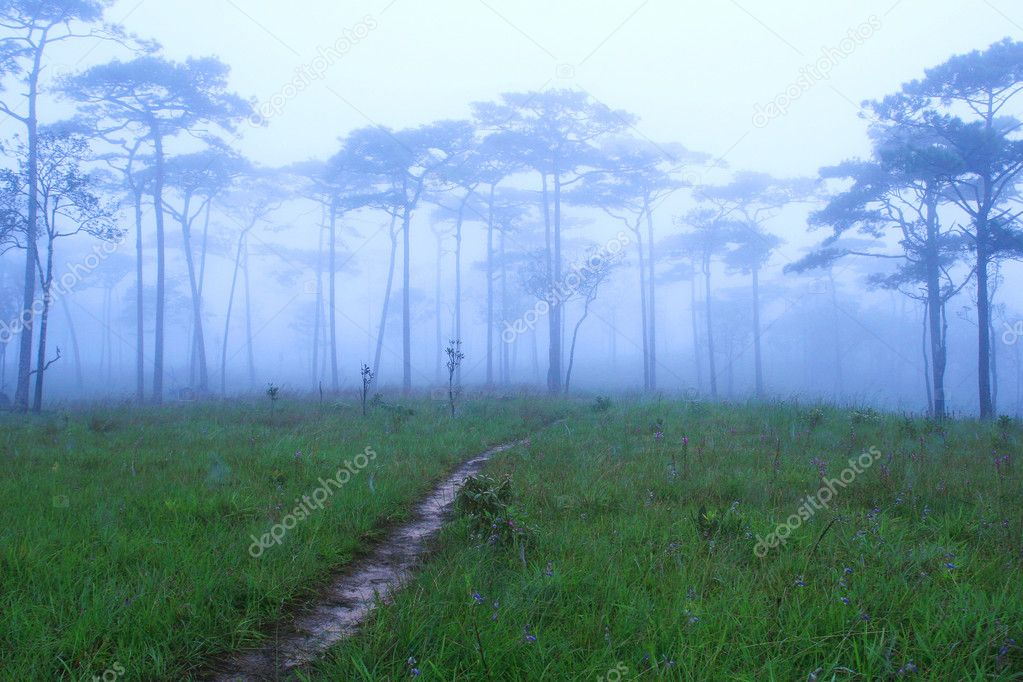 Pine Forest in the Morning — Stock Photo #10478775