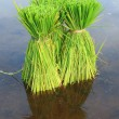 Rice Plants — Stock Photo
