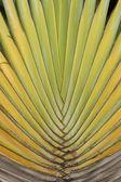 Detail of Traveller's Palm — Stock fotografie