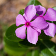 Purple Periwinkle — Stock Photo