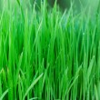 Young green paddy plant suitable background — Stock Photo #9595678