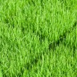 Young green paddy plant suitable background — Stock Photo #9595808