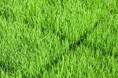 Junge grüne paddy pflanzen geeignet background — Stockfoto