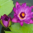 Purple Waterlily — Stock Photo