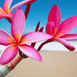 Royalty-Free Stock Photo: Plumeria flowers on the beach