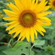 Sun flower — Stock fotografie #9655598