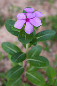 Purple periwinkle flower — Stock Photo