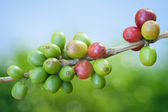 Coffee beans growing — Stock Photo
