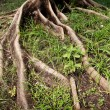 Tree roots - Stock Photo