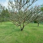 Plumeria tree with green grass — Stock Photo