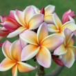 Yellow plumeria flowers — Stock Photo
