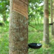 Rubber tree - Foto Stock