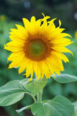 Fully blossomed sunflower — Stock Photo