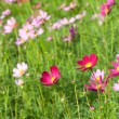 Cosmos flowers on plant — Foto de Stock
