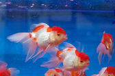 Fishtank with goldfish — Stock Photo