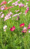 Kozmos çiçekleri tesisi — Stok fotoğraf